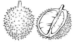 3.Gambar Mewarnai Buah Durian